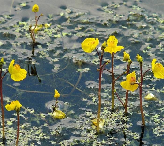 Одно из хищных растений - пузырчатка