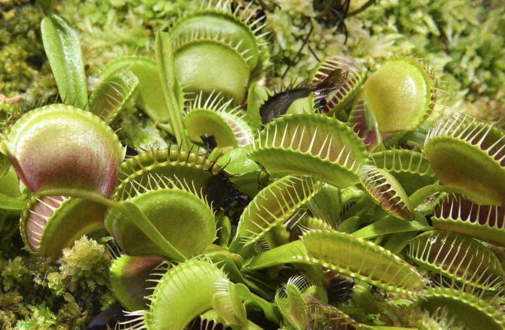 Венерина мухоловка - хищное растение
