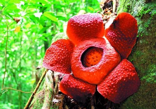 Раффлезия: гигантский цветок-паразит