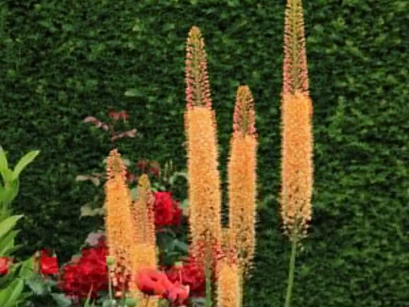 Эремурус: описание, виды, размножение, уход за цветком
