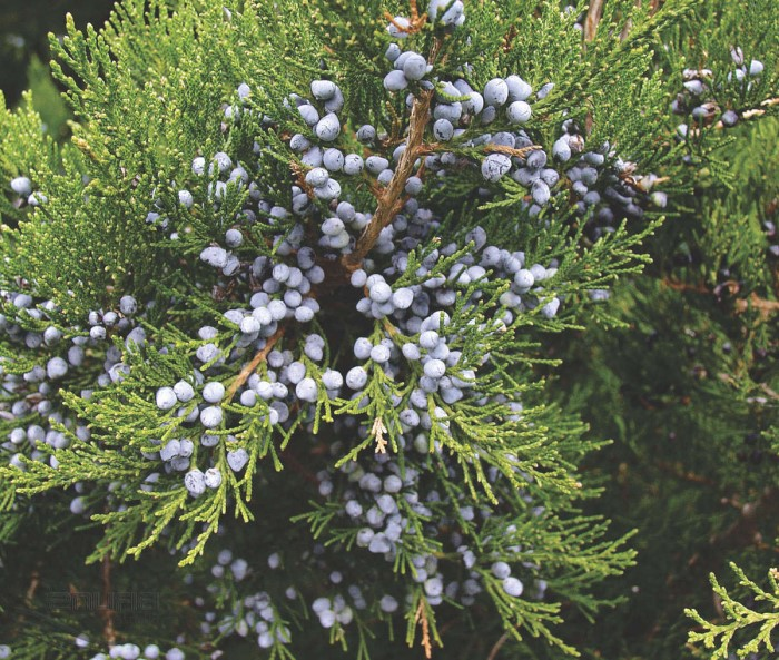 Так выглядят плоды можжевельника виргинского Канаэрти