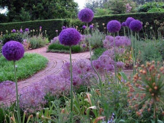 Лук декоративный (аллиум): описание, виды, применение в дизайне сада