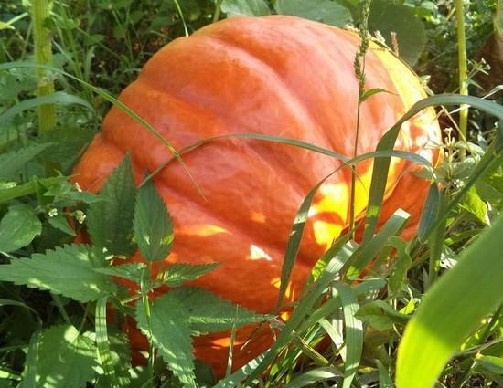 Овощи-компаньоны: кукуруза, фасоль и тыква