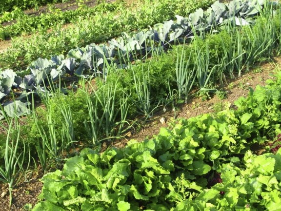 Овощи-компаньоны: удачное соседство на грядках