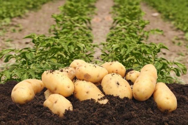 Что рекомендуется сажать рядом с картофелем