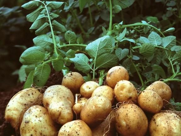Что можно, а что нельзя сажать рядом с картофелем