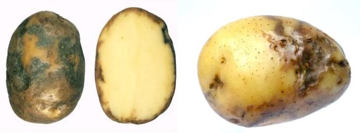 Фитофтороз на клубнях картофеля
