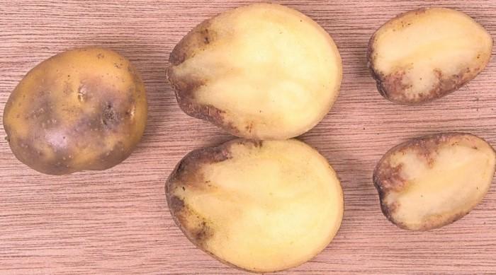 Признаки фитофтороза картошки