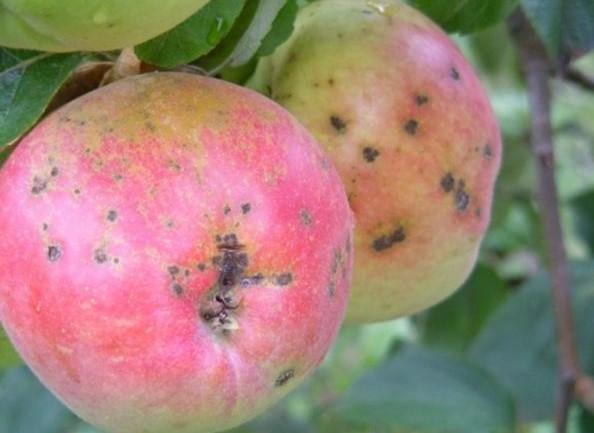 Точечная парша на яблоне