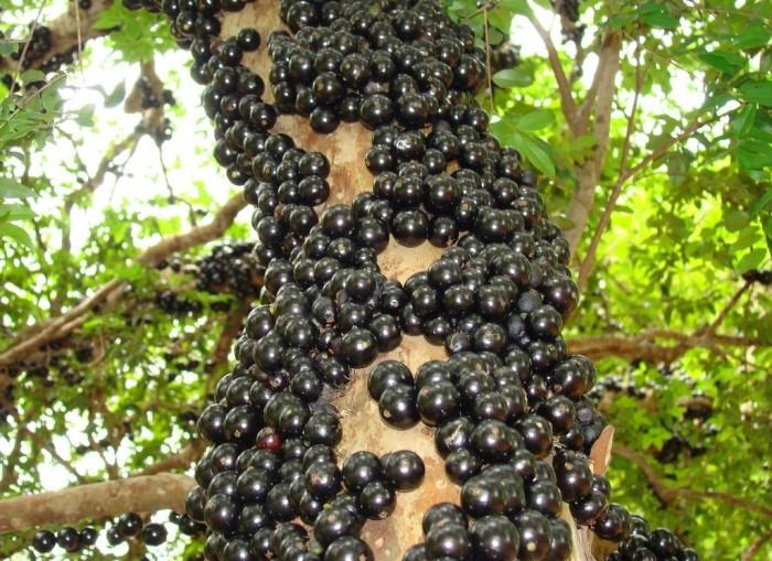 Бразильский виноград