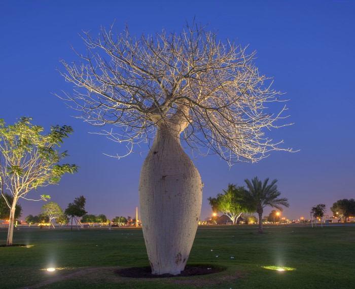 Бутылочное дерево в засуху