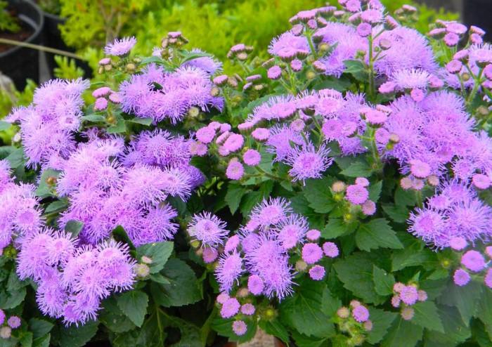 Агератум - однолетний цветок, цветущий все лето