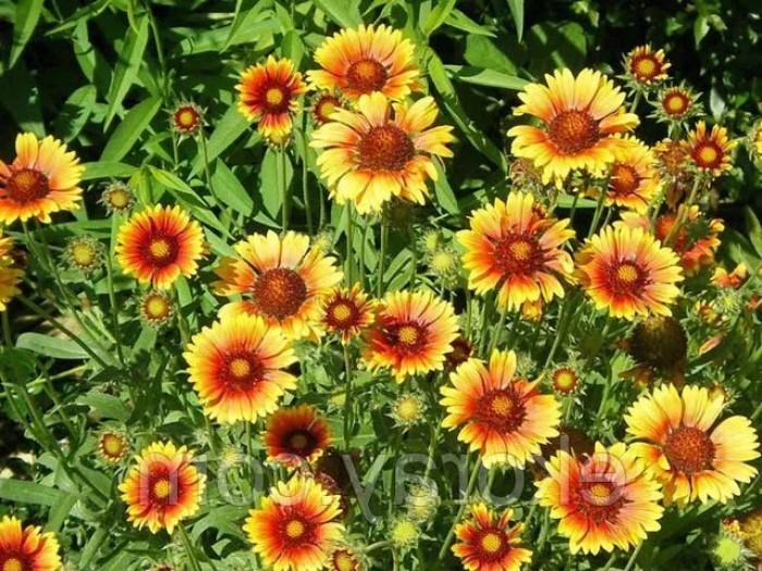 Гайлардия гибридная - цветок, который цветет все лето