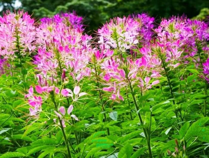 Клеома - долгоцветущее растение