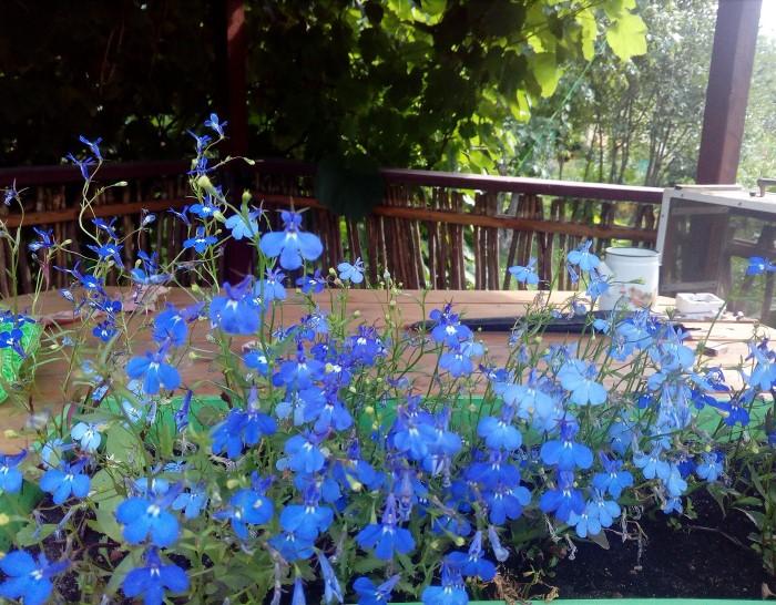 Лобелия украшает сад все лето