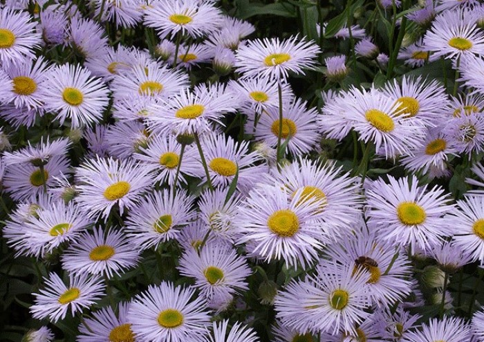 Цветок, который цветете все лето - мелколепестник