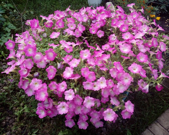 Петуния - прекрасный цветок