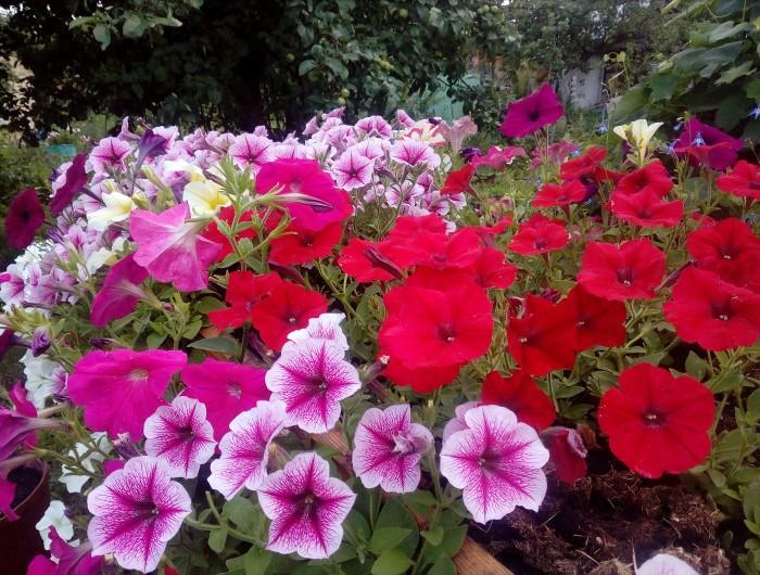 Петуния цветет все лето