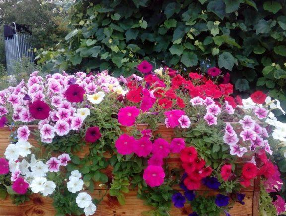 Однолетники, которые цветут все лето
