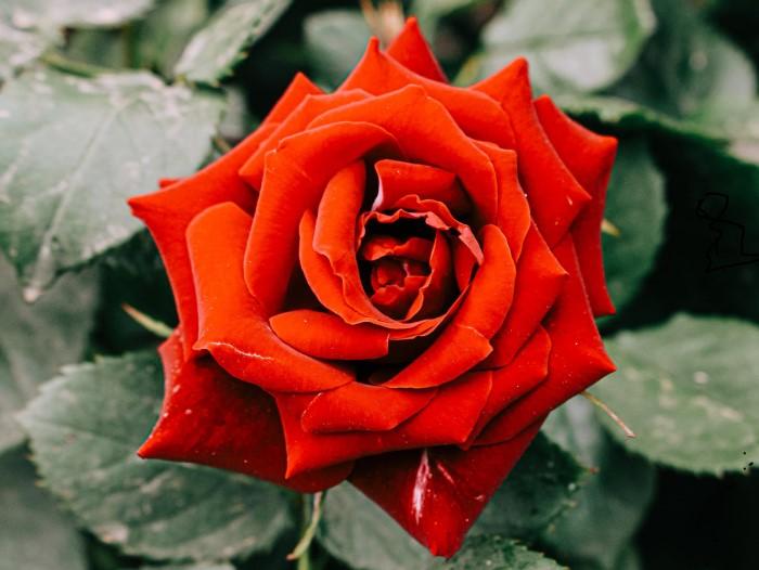 22 интересных факта о розах